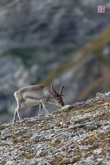 Mountaineer (Rhapsody-In-Blue) Tags: animal norway reindeer wildlife svalbard arctic spitsbergen arcticwildlife renne antler animalportrait spitzberg spitsberg rangifertarandus animalbehavior rangifertarandusplatyrhynchus svalbardreindeer rennedusvalbard