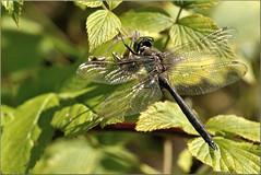 Somatochlora alpestris ♂ (Joose SF) Tags: nature nikon dragonflies dragonfly wildlife insects arthropoda insecte libellule 2014 odonata anisoptera hexapoda corduliidae libellules odonate proxi proxiphoto
