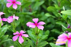 UA Presents (Dr Usman Aslam) Tags: pakistan flower green nature nude nat lahore flo gre laho lahoer
