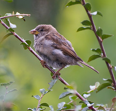 Untitled. (Rene from Holland.) Tags: holland macro bird nature dutch closeup garden bush sitting bokeh explore sparrow