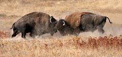 Battle for Supremacy (ken.helal) Tags: bison