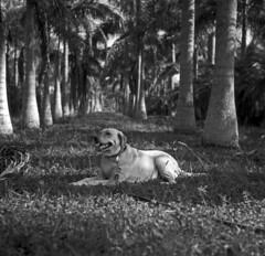 Princess (Ikoflex) (PositiveAboutNegatives) Tags: blackandwhite bw dog film analog zeiss ic lab labrador yellowlab ikoflex coolscan treefarm foma 80mm carlzeiss fomapan100 tessar nikon9000scanner blackandwhitefilmphotography freefilmimages freefilmpictures