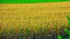 Yellow Carpet.... (Photo_hobbyist) Tags: plants field yellow countryside corn nikon ngc greece traveling trikala thessalia d5200