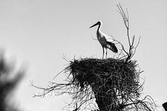 El nido de la cigea (Mathias Bra) Tags: blackandwhite bw bird byn blancoynegro huelva ave animales pajaro doana