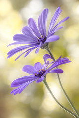 Daisy blues (Mandy Disher) Tags: blue flower nature floral beauty garden flora daisy sumer osteospermum capedaisy
