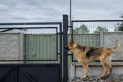 DSC_1832 (Asado De Cordero) Tags: dog pet pets dogs animal animals nikon perro perros d3100