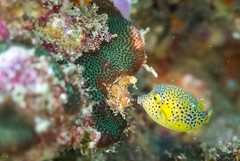 DSC_5626.jpg (d3_plus) Tags: sea sky fish beach coral japan scenery diving snorkeling  shizuoka   j1  izu  boxfish softcoral    skindiving  minamiizu       nikon1 hirizo   nakagi nikon1j1 1nikkor185mmf18  beachhirizo commoncoral misakafishingport  boxfishyg  yg
