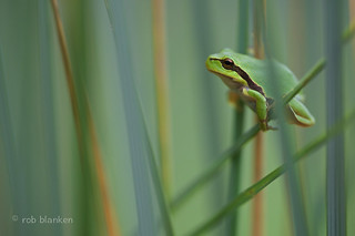 Hyla arborea (European Tree Frog, Europese boomkikker)