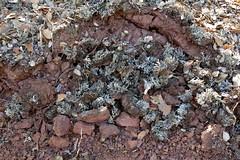 Uprooted lichen population (openspacer) Tags: lichen jrbp jasperridgebiologicalpreserve