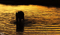 Elelphant in golden water ( Mathieu Pierre photography) Tags: county 2 cats baby 3 elephant game beach fashion animals rock cat canon that is big melting remember kenya african wildlife lion young reserve photographers safari pot national ii level unite mara 7d l mm usm moment majestic 70200 f28 maasai flin 70200mm vigilant narok mygearandme vpu2 vpu3 vpu4 folken4461