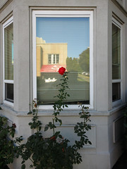 One Red Rose, Central District, Seattle (Blinking Charlie) Tags: seattle red usa reflection rose vertical washingtonstate centraldistrict 2014 baywindow 15thavenue canonpowershots100 imperialapartments blinkingcharlie