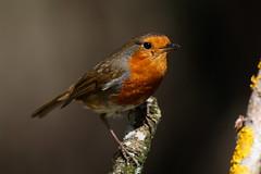 _F0A6157.jpg (Kico Lopez) Tags: erithacusrubecula galicia lugo miño petirrojo robin spain aves birds rio