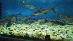 69E65C3A-2523-4A93-9103-A517E5EB9C8A (AbdulRahman Al Moghrabi) Tags: fish gold aquarium pet oasis bawadi jeddah saudi arabia fishbowl water bubbles blue glass حوض سمك ماء مياه أزرق جميل حيوانات أليفة instagram moghrabiabd abdulrahmanalmoghrabi