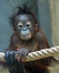 orangutan Ouwehands JN6A9487 (j.a.kok) Tags: orangutan orangoetan orang ouwehands ouwehandsdierenpark ouwehandszoo mammal zoogdier primaat primate ape aap monkey sumatra borneo mensaap sabbar juwel