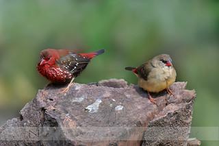 Red Avadavat (Strawberry Finch)