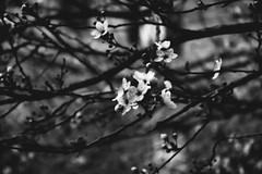 Primavera timida #2 bianco e nero (~Miel) Tags: primavera spring fiori flowers tree biancoenero blackandwhite nikond5200 nikon beginner principiante