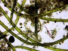 Hair_Algae_Above_Pump2-0091 (jason2459) Tags: algae gha microscope photomicrography bacteria