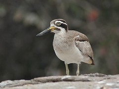 Great Thick-Knee (SivamDesign) Tags: canon eos 550d rebel t2i kiss x4 300mm tele canonef300mmf4lisusm kenko pro300 caf 14x teleplus dgx bird fauna greatstonecurlew greatthickknee esacusrecurvirostris ranganathittu