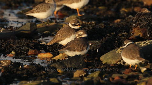 Ringed plover at Greenock, Scotland.