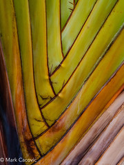 Palm frond {Explored} (Mark Cacovic) Tags: palm frond leaf tree plant macro maui hawaii 2017 abstract