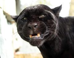 Jaguar Mowgli artis BB2A3971 (j.a.kok) Tags: jaguar blackjaguar mowgli zwartejaguar artis kat cat mammal zuidamerika southamerica pantheraonca