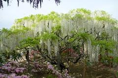 White Wisteria (tez-guitar) Tags: park white flower japan garden spring pentax sigma petal wisteria pentaxart