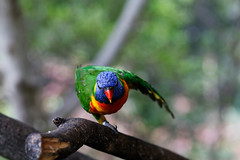 Parrot stretching (wolf4max) Tags: nature animal zoo parrot stretching loroparque colorfulparrot parrotstretching