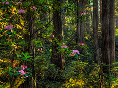 Rhododendrens along Damnation Creek Trail (Beau Rogers) Tags: california pink flowers trees green nature northerncalifornia forest outdoors hiking redwoods lush redwoodsnationalpark rhododendrens