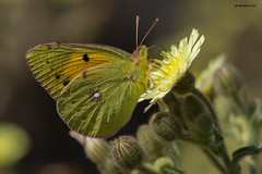 Colias Croceus (Windows FOR the Soul - Photos) Tags: macro nature butterfly coliascroceus nikond600 nikonmicro105mmf28