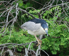 "Black-crowned night heron • <a style=""font-size:0.8em;"" href=""http://www.flickr.com/photos/75865141@N03/14240029967/"" target=""_blank"">View on Flickr</a>"