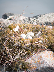 Three Goose Eggs (YWphotography) Tags: blue brown lake canada nature station yellow canon river grey moss spring rocks winnipeg nest wildlife gray feathers goose eggs speckled lightroom generating g15