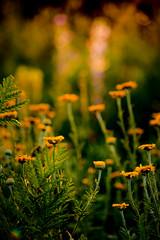 Wildblumenwiese #5