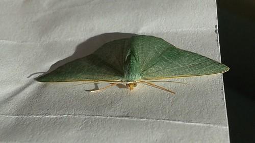Geometridae, Geometrinae - Pelagodes antiquadraria?