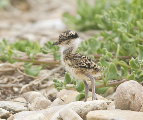 Crowned Plover  chick 1000