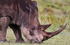 Grazing Grass (White) Rhino. (Rainbirder) Tags: white kenya ngc npc nakuru whiterhinoceros rainbirder grassrhino rhinoceratotherium simumlake