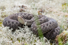 Vipera berus. (joeljir_) Tags: viper adder kyy viperaberus huggorm kreuzotter