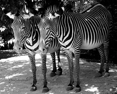 Sunbathing zebras (Cloudwhisperer67) Tags: city trees light shadow urban bw horse cloud sun white black france tree art love nature beautiful beauty animal garden dark fun photography zoo soleil nice europa europe cityscape shadows gloomy darkness vibrant great jardin atmosphere sunny strasbourg alsace zebra lovely scape parc sunbathing 67 jardins enchanted troubled mulhouse whisperer dakness into cloudwhisperer hx9v cloudwhisperer67