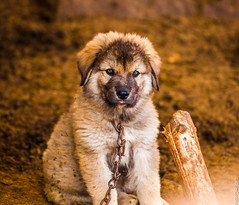 Nature-145735 (fitimcaraku) Tags: dog cute shepherd illyrian