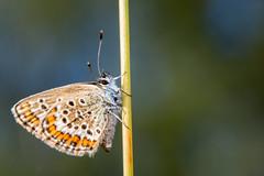 2014-jul-19_0060 (Daniel Nilsson, Agunnaryd) Tags: macro nature closeup natur insects insekter blvinge polyommatini