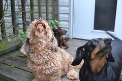 2 out of 3 (Tobyotter) Tags: dog frank hotdog dachshund perro hund link pottery dackel teckel jimmydean doxie pointyfaceddog