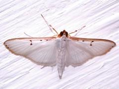Grass Moth - Family Crambidae - NMW 20 July 2014-099 (Dis da fi we) Tags: belize crambidae grassmoth jungle moth puntagorda toledo wildlife nationalmothweek nationalmoth mothing cottages hickatee