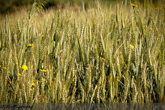 Petites fleurs des champs (DjR Pictures) Tags: canon brittany buttercup britain wheat country champs sigma bretagne 70200 f28 bl 50d