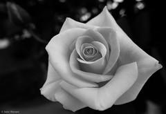 Antoine Rivoire Rose (salar hassani) Tags: rose sony salar antoine hassani rivoire rx100m3