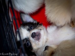 Daydreaming... (Siam_K) Tags: pets dogs animals fun thailand husky bangkok olympus pitbull mansbestfriend lightroom m43 mft smallcamera mirrorless microfourthirds mu43 mirroless olympusepl5 epl5 smallcamerabigpicture thailandinternationaldogshow2014