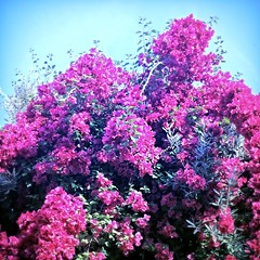 Branche de lilas (© Ahmed rabie) Tags: camera apple fleurs de photography 5 isight elegant lilas iphone branche oujda iphone5 rosemauve