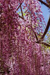 Pink Blooms (SaigoDon) Tags: flowers japan spring kagoshima    wisteria kyushu   fujivelvia kirishima  makizono kagoshimaprefecture  vscofilm wakikoen