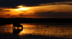 No aude (Eduardo Amorim) Tags: sunset brazil southamerica brasil atardecer kuh cow rind tramonto sonnenuntergang cows ox prdosol oxen mucca poniente bois khe anoitecer vache coucherdesoleil vaca vacas campanha brsil vaches boi buey entardecer crepsculo amricadosul mucche poente beijos boeuf amriquedusud boeufs buoi sudamrica rinder suramrica amricadelsur bueyes maravillosa mue americameridionale eduardoamorim