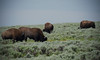 Bison's Snack Time - Yellowstone Hayden Valley, Wyoming (dlau Photography) Tags: park travel vacation nature buffalo time tourist national valley snack yellowstone hayden wyoming bison visitor soe astoundingimage