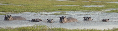 We are watching you! (Edward Arthur) Tags: northwest safari hippo botswana savuti
