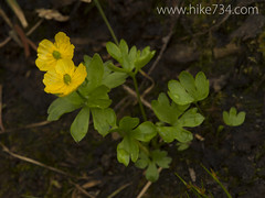 "Mountain Buttercup • <a style=""font-size:0.8em;"" href=""http://www.flickr.com/photos/63501323@N07/14690299197/"" target=""_blank"">View on Flickr</a>"